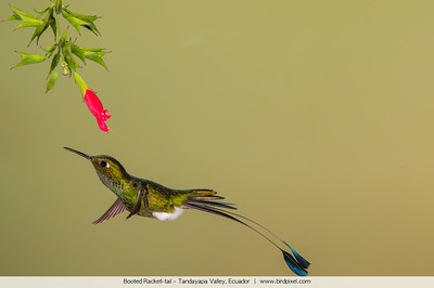 Booted Racket-tail - Tandayapa Valley, Ecuador