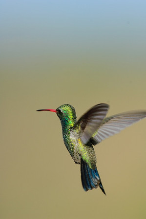 Broad-billed Hummingbird-8
