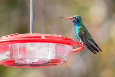 Broad-billed Hummingbird - Santa Cruz, CA, USA