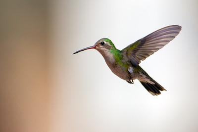 Broad-billed Hummingbird - Hereford, AZ, USA