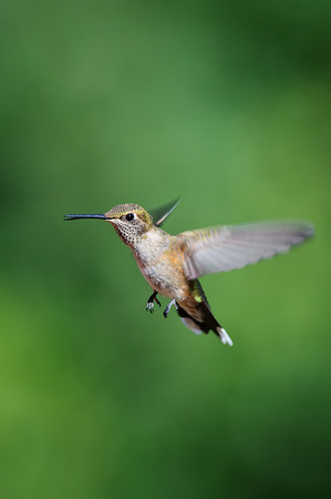 Broad-tailed Hummingbird-776