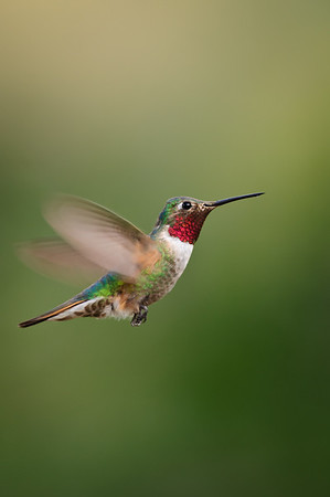 Broad-tailed Hummingbird-793