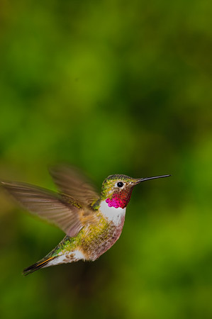 Broad-tailed Hummingbird-4629