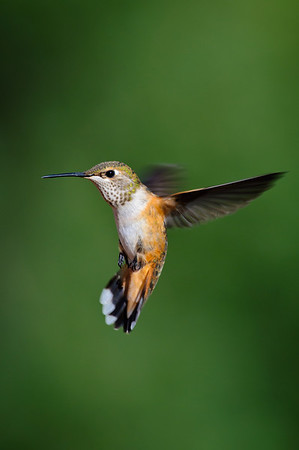Broad-tailed Hummingbird-784