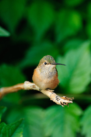 Broad-tailed Hummingbird-127