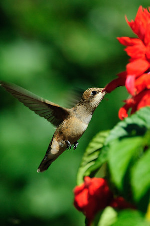 Broad-tailed Hummingbird-266-1