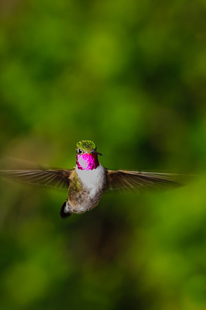 Broad-tailed Hummingbird-4597