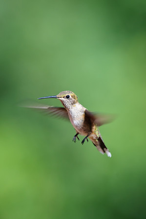 Broad-tailed Hummingbird-775