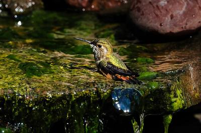 Rufous hummingbird B7771