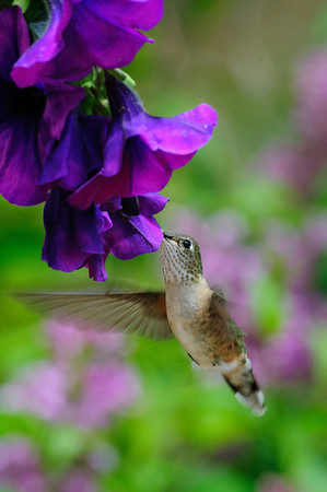 Broad-tailed Hummingbird-202-1