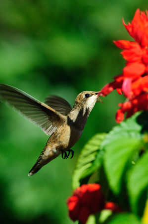 Broad-tailed Hummingbird-275-1