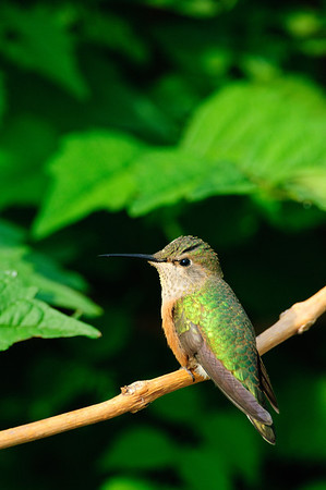 Broad-tailed Hummingbird-131