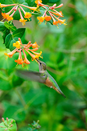 Broad-tailed Hummingbird-102