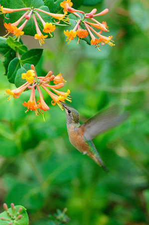 Broad-tailed Hummingbird-101