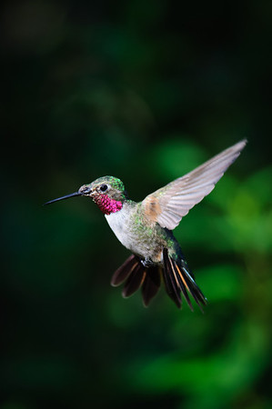 Broad-tailed Hummingbird-467