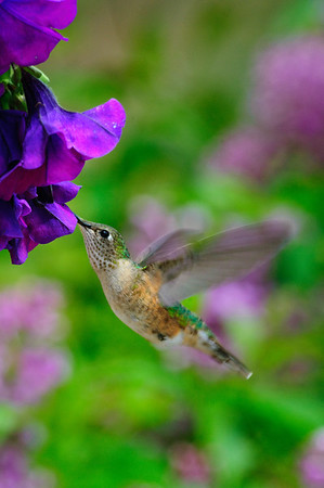 Broad-tailed Hummingbird-203-1