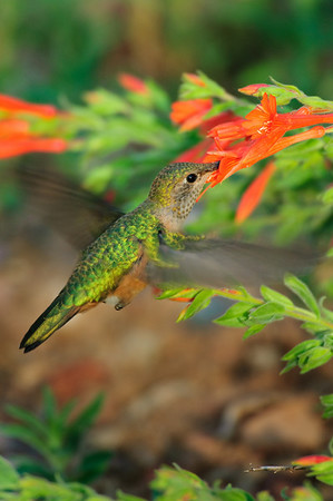Broad-tailed Hummingbird-123
