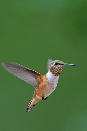 Broad-tailed Hummingbird-460
