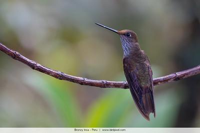 Bronzy Inca - Peru