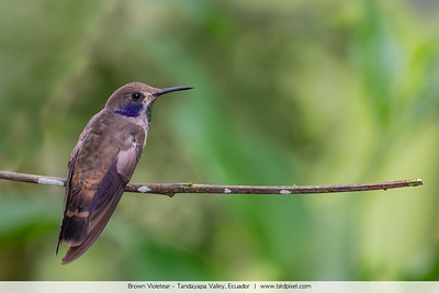 Brown Violetear - Tandayapa Valley, Ecuador