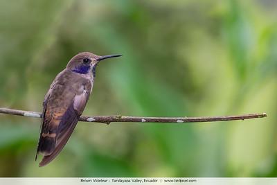 Brown Violetear - Tandayapa Valley, Ecuador