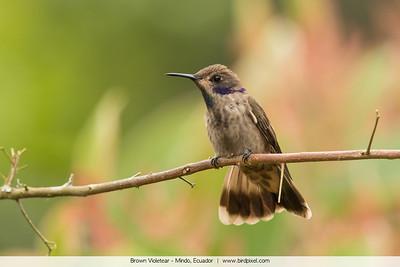 Brown Violetear - Mindo, Ecuador