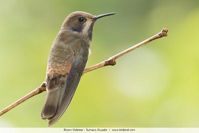 Brown Violetear - Sumaco, Ecuador