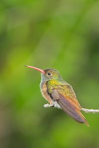 Buff-bellied Hummingbird - Estero Llano Grande State Park - Weslaco, TX, USA