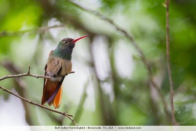 Buff-bellied Hummingbird - Brownsville, TX, USA