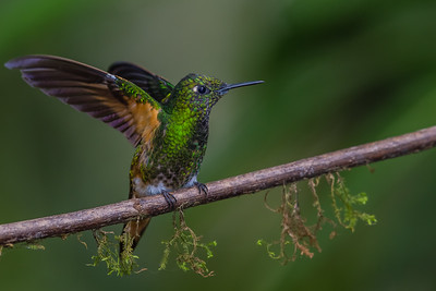 Buff-tailed Coronet - Tandayapa Lodge, Quito, Ecuador
