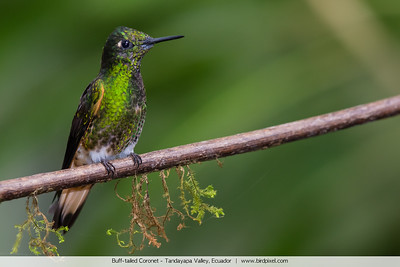 Buff-tailed Coronet - Tandayapa Valley, Ecuador
