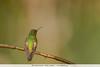Buff-tailed Coronet - Mindo, Ecuador