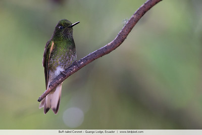 Buff-tailed Coronet - Guango Lodge, Ecuador