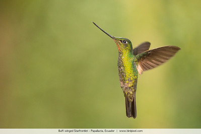 Buff-winged Starfrontlet - Papallacta, Ecuador