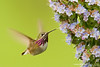 Calliope Hummingbird -  Milpitas, CA, USA