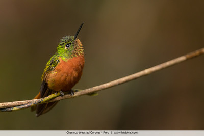 Chestnut-breasted Coronet - Peru