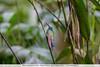 Chestnut-breasted Coronet - Inkaterra Resort, Aguas Calientes, Peru
