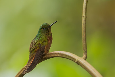 Chestnut-breasted Coronet - Papallacta, Ecuador
