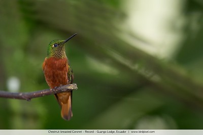 Chestnut-breasted Coronet - Record - Guango Lodge, Ecuador
