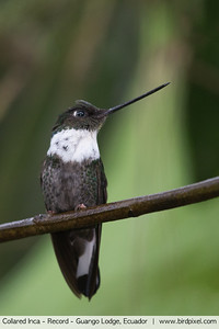 Collared Inca - Record - Guango Lodge, Ecuador