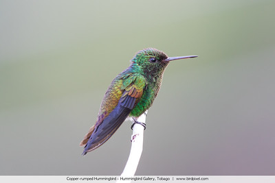 Copper-rumped Hummingbird - Hummingbird Gallery, Tobago