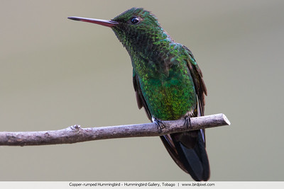 Copper-rumped Hummingbird - Hummingbird Gallery, Tobago