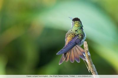 Copper-rumped Hummingbird - Asa Wright Nature Center, Trinidad