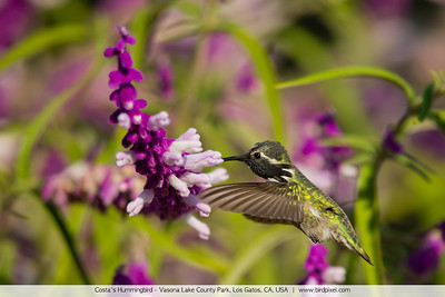 Costa's Hummingbird - Vasona Lake County Park, Los Gatos, CA, USA