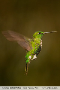 Emerald-bellied Puffleg - Abra Patricia, Peru
