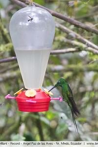 Empress Brilliant - Record - Angel Paz de las Aves - Nr. Mindo, Ecuador