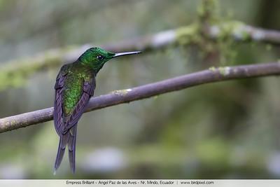 Empress Brilliant - Angel Paz de las Aves - Nr. Mindo, Ecuador
