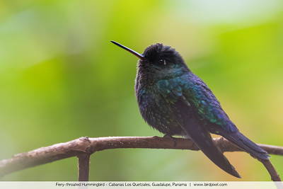 Fiery-throated Hummingbird - Cabanas Los Quetzales, Guadalupe, Panama