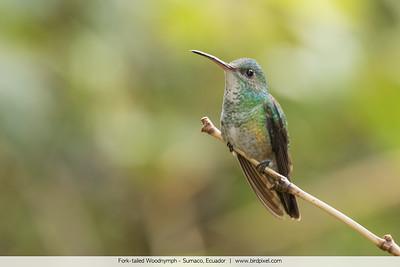 Fork-tailed Woodnymph - Sumaco, Ecuador