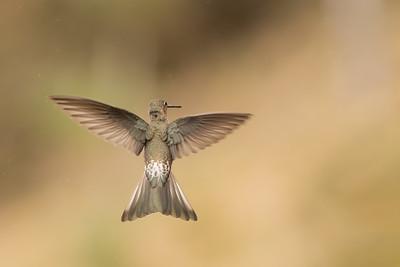 Giant Hummingbird - Antisana, Ecuador